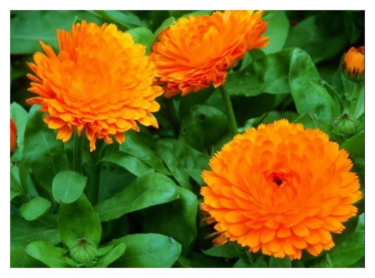 Calendula Flowers Images